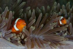 BD-140314-Padre-Burgos-1930-Amphiprion-polymnus-(Linnaeus.-1758)-[Saddleback-clownfish].jpg